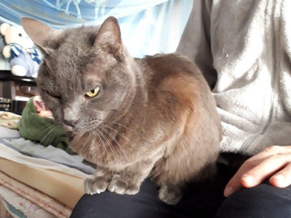 悪い顔の灰色猫ししゃも
