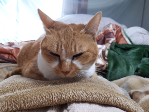 ヒトのモコモコパジャマでふみふみする黄色猫きなこ