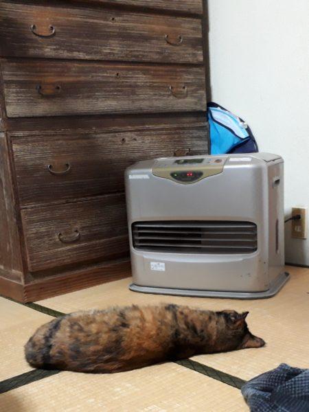 ファンヒーターをつけると溶けて、タヌキのように寝てるおデブなサビ猫しめじ