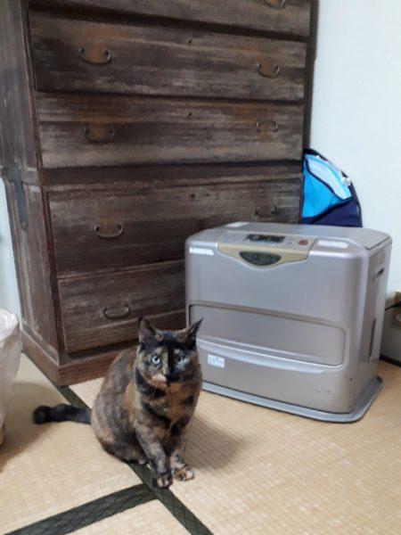 寒いからファンヒーターをつけてくれ、と目で訴えるおデブなサビ猫しめじ