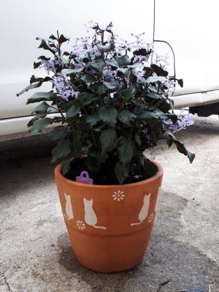 猫の植木鉢に植え替えたプレクトランサスラベンダー