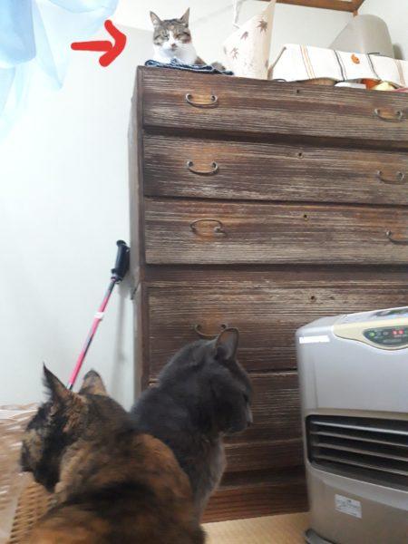 ファンヒーターの前で集合する灰色猫ししゃもとサビ猫しめじと縞三毛猫なめこ