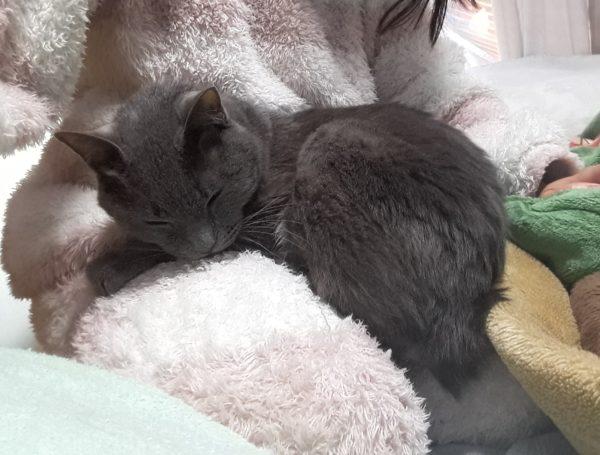 モコモコパジャマの母の膝で甘える灰色猫ししゃも