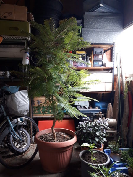 本州で二度目の冬を迎える鉢植えのジャカランダ
