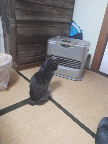 冬が来て、スライムのようにくっつきだす猫型の毛玉たち、ファンヒーターの真ん前で暖をとる灰色猫ししゃも