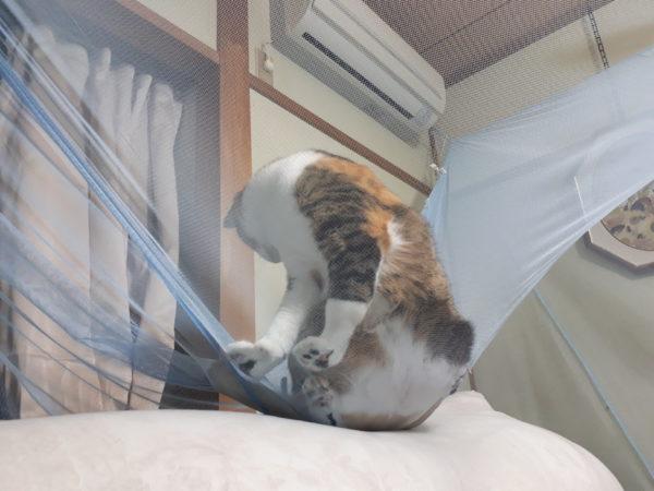 冬が来て、スライムのようにくっつきだす猫型の毛玉たち、蚊帳に乗ってくるいたずらな縞三毛猫なめこ。