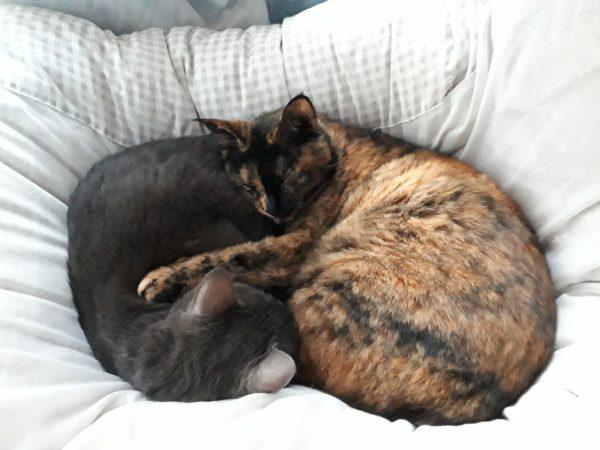 冬が来て、スライムのようにくっつきだす猫型の毛玉たち、灰色猫ししゃもとサビ猫しめじ