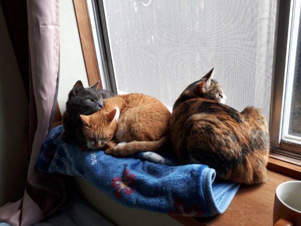 冬が来て、スライムのようにくっつきだす猫型の毛玉たち、窓辺でひっつく灰色猫ししゃもと黄色猫きなこと縞三毛猫なめこ