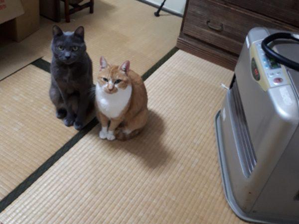 冬が来て、スライムのようにくっつきだす猫型の毛玉たち、ファンヒーターの真ん前で暖をとる灰色猫ししゃもと黄色猫きなこ