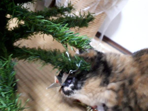 クリスマスツリーの星を食べようとするサビ猫しめじ