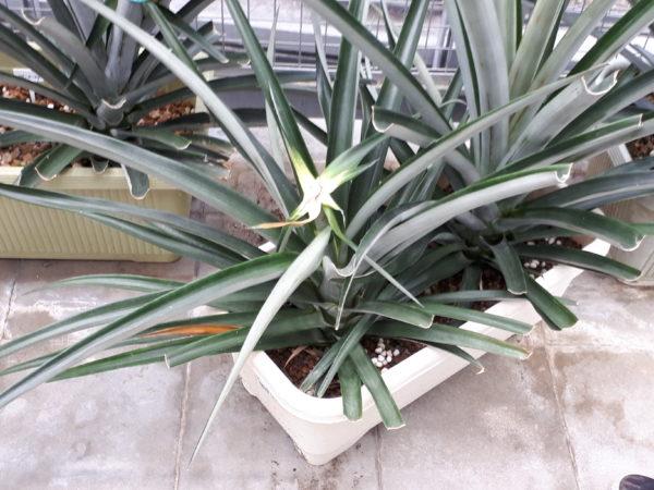 いつもの植物園で、パイナップル収穫体験させてもらったよ