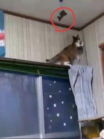 カーテンレールに乗って楽しそうな縞三毛猫なめこ。