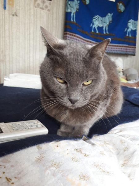 野菜パウダーで色付けして、灰色猫と黄色猫とサビ猫と縞三毛猫のアイスボックスクッキー作ってみた