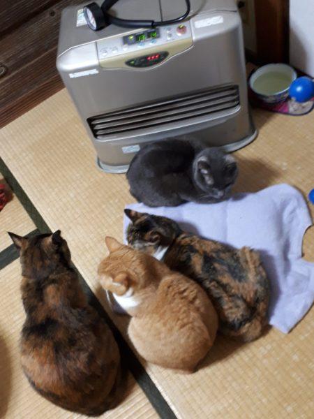 ファンヒーター点けると猫がいっぱい集まってくる、