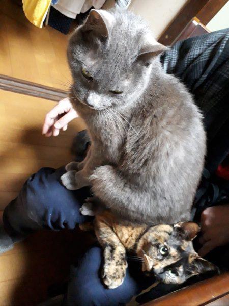 猫エイズ治療を始めて約1ヶ月半経過した、灰色猫ししゃものこと。