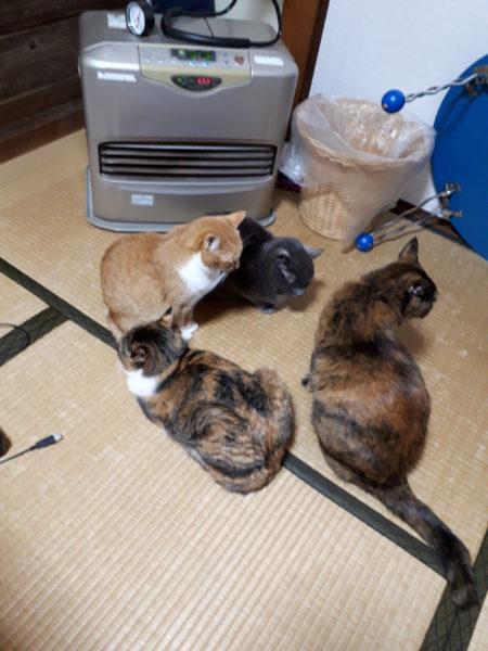 ファンヒーターの前に集う多頭猫