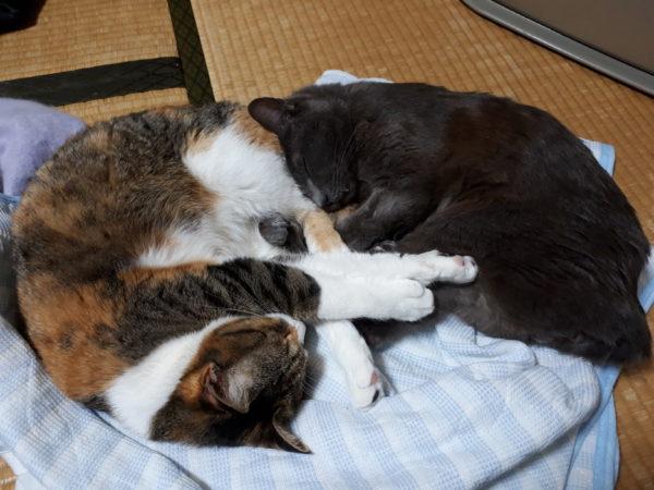 寄り添って寝る灰色猫ししゃもと縞三毛猫なめこ