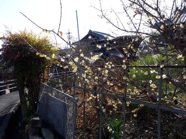 今年も蝋梅の花が咲いた2021