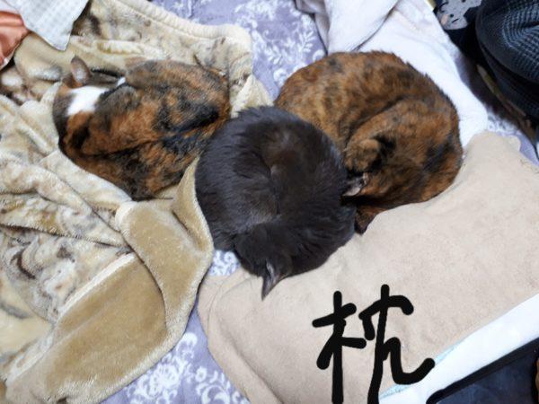 人の枕を占領する多頭猫、灰色、サビ猫、縞三毛猫