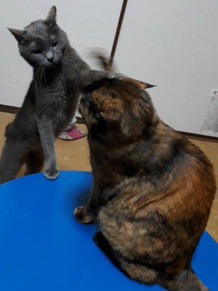 ファンヒーターの前で繰り広げられる、猫たちのケンカ