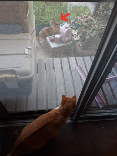 春の陽気に誘われて脱走した縞三毛猫なめこ