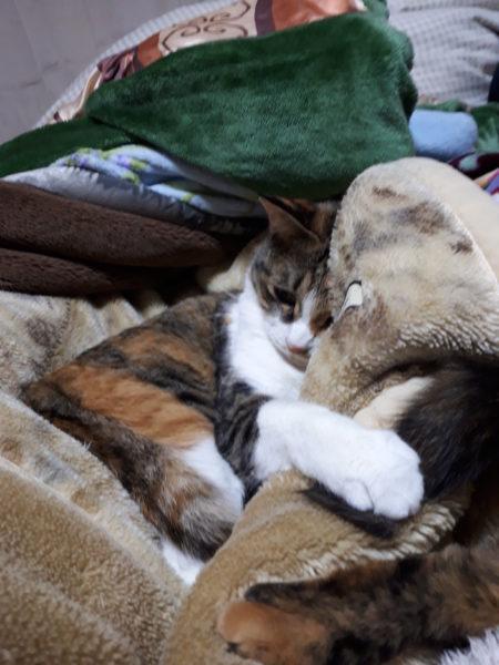 サビ猫しめじの尻尾にちょっかいを出す、縞三毛猫なめこ