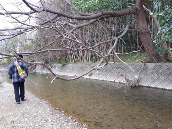 春の田舎の小川沿いを散歩、猫も