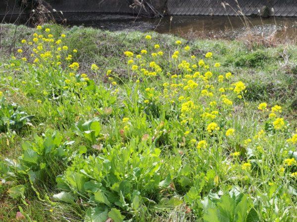 春の田舎の小川沿いを散歩、猫も、菜の花