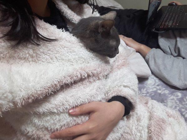 パジャマに一緒に入る灰色猫ししゃも