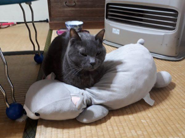 自分の分身ぬいぐるみを枕にする灰色猫猫ししゃも