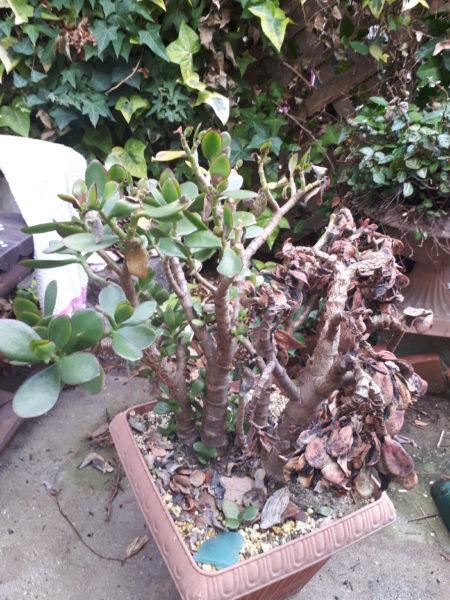 春の園芸、寒さで壊死したカネノナルキの剪定