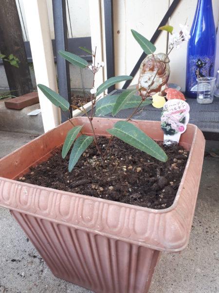 春の園芸ハーデンベルギア