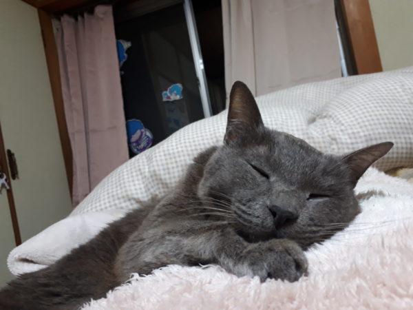 母ちゃんに甘えて乗って寝る灰色猫ししゃも