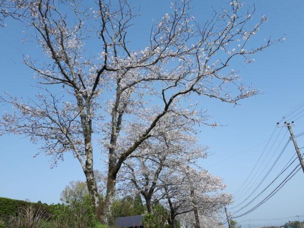 半年ぶりに、ぷっこ実家に帰省中です。桜