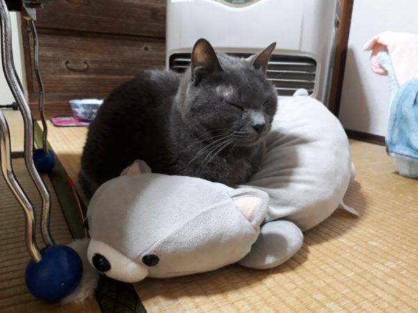 自分そっくりのぬいぐるみをクッションにして落ち着く灰色猫ししゃも