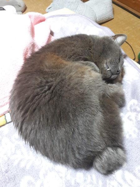 ジャパニーズボブテイルの灰色猫ししゃも