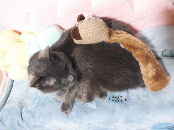 猫のおもちゃのネズミと灰色猫ししゃも