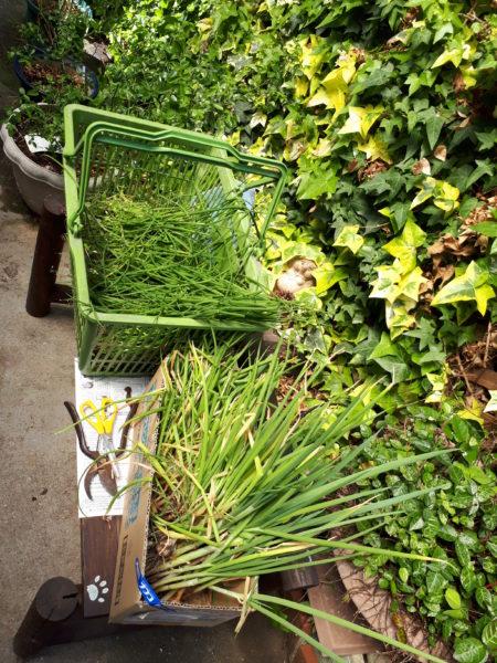 今年も巨大プランター(衣装ケース)で家庭菜園始動。ネギ