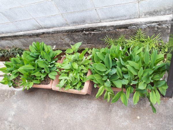 今年も巨大プランター(衣装ケース)で家庭菜園始動。