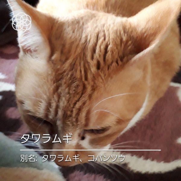 ハナノナアプリで猫を撮影、黄色猫タワラムギ