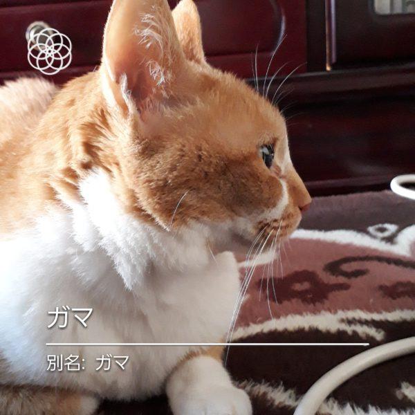 ハナノナアプリで猫を撮影、黄色猫ガマ