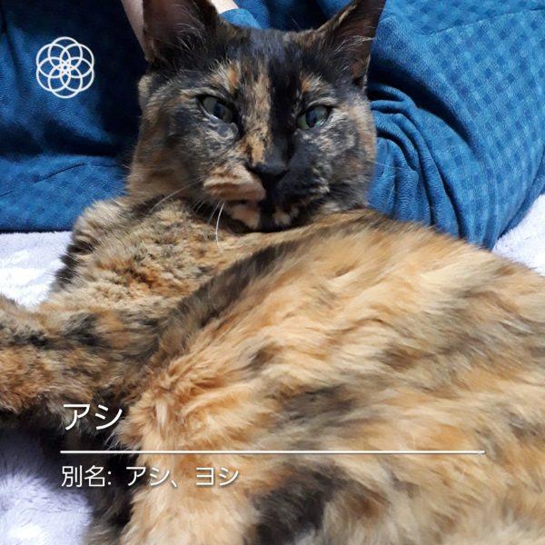 ハナノナアプリで猫を撮影、サビ猫アシ