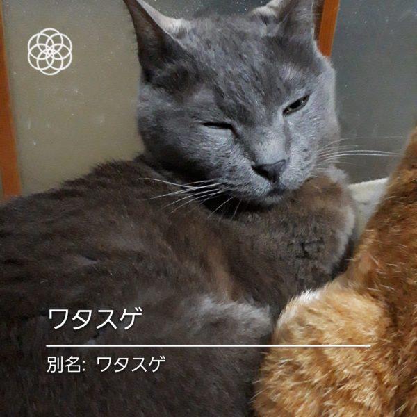 ハナノナアプリで猫を撮影、灰色猫ワタスゲ
