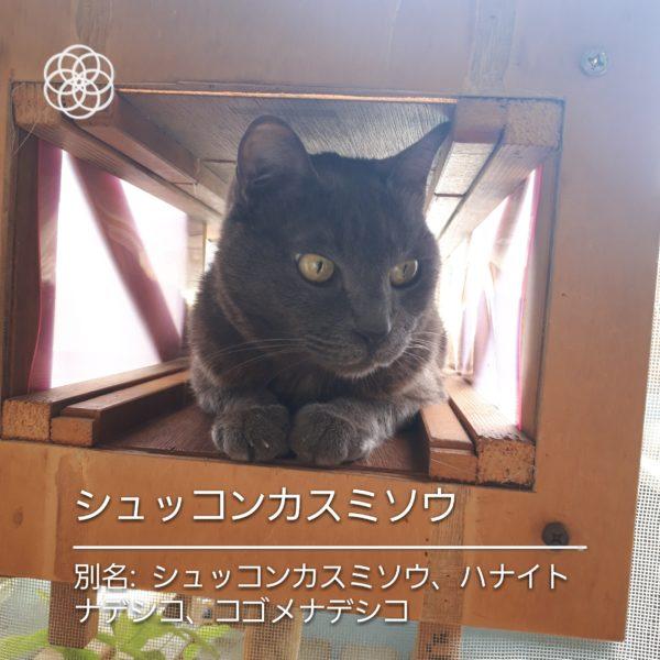 ハナノナアプリで猫を撮影、灰色猫シュッコンカスミソウ