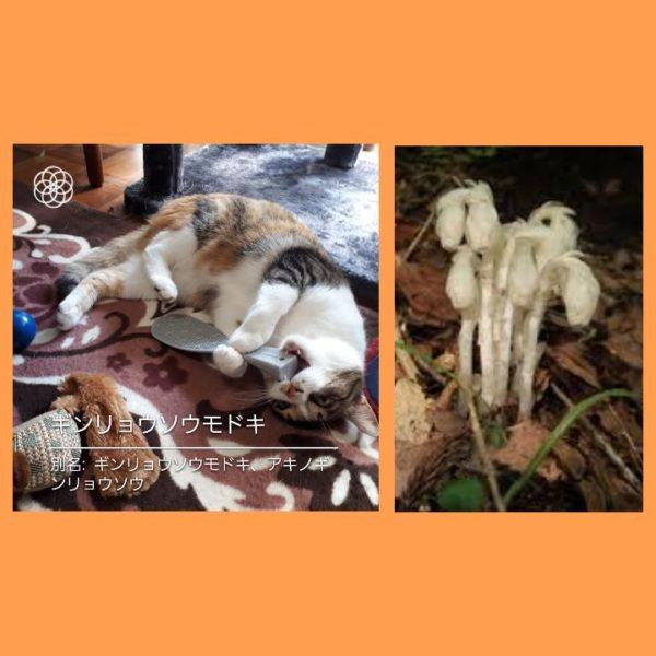 ハナノナアプリで猫を撮影、縞三毛猫ギンリョウソウモドキ