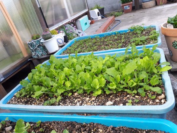 プランターで野菜栽培サラダ菜