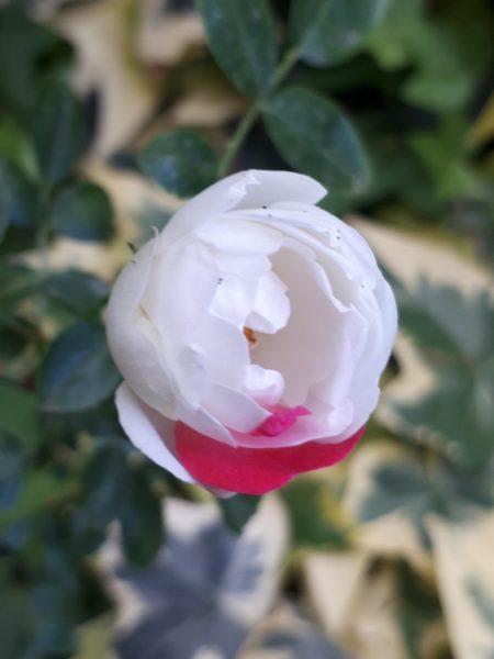 白バラジュネプリンセスに紅がさした花