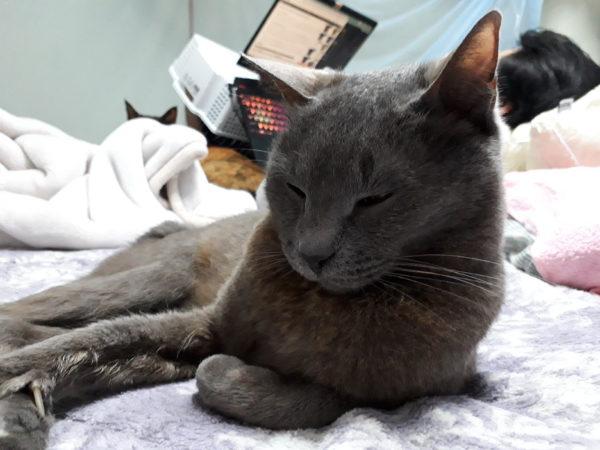 とてつもなく神経質な灰色猫ししゃもに、楽に薬を飲んでもらう方法発見(ФωФ)?その2猫エイズ、粉薬、オブラート