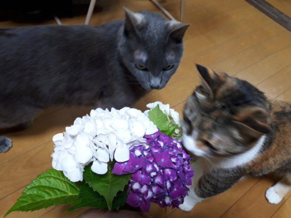 2人と4匹の、のんびり引きこもり生活、1週間経過。紫陽花