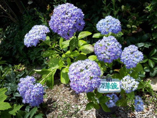 紫陽花の有名なお寺へ